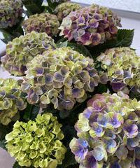 アンティークカラーの紫陽花の鉢植え ラッピング、送料込み