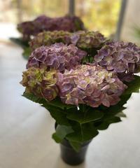 パープルアンティークカラーの紫陽花の鉢植え ラッピング、送料込み