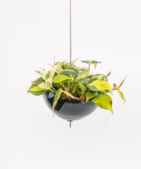 Epipremnum pinnatum 'Marble Queen' / Philodendron oxycardium 'Brazil' + Lotus (Recycled glass)