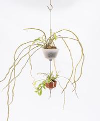 Dendrobium loddigesii / aphyllum combine + GOP + OP