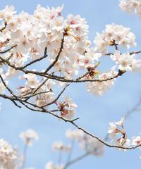 桜の花が舞う頃に君に出会い
