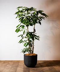 Schefflera Actinophylla | シェフレラ・ブラッサイア