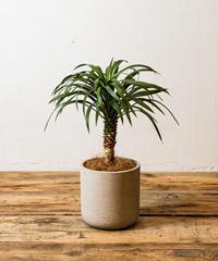 Yucca Desmetiana | ユッカ・デスメティアナ