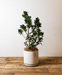Ficus Microcarpa | フィカス・ベビーリーフ