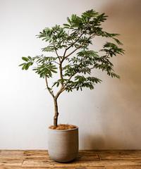 Cojoba Arborea | エバーフレッシュ