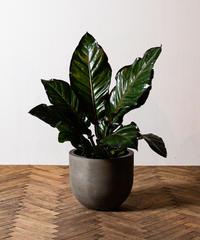 Anthurium Jungle Bush Red | アンスリウム・ジャングルブッシュ・レッド