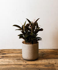 Ficus Elastica Melany  | フィカス・エラスティカ・メラニー
