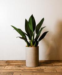Philodendron Cannifolium  | フィロデンドロン・キャニホリウム