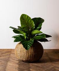 Anthurium Jungle Bush Roundleaf | アンスリウム・ジャングルブッシュ・マルバ