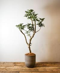 Schefflera Arboricola | シェフレラ・アルボリコラ
