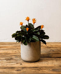 Calathea Crocata | カラテア・クロカータ