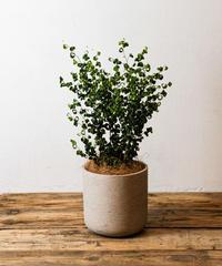 Ficus Benjamina Barok | フィカス・ベンジャミンバロック