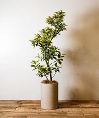 Ficus Rubiginosa Variegata | フィカス・ルビギノーサ・バリエガータ