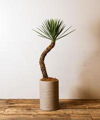 Yucca Aloifolia | ユッカ・アロイフォリア