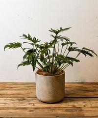 Philodendron Kookaburra | フィロデンドロン・クッカバラ