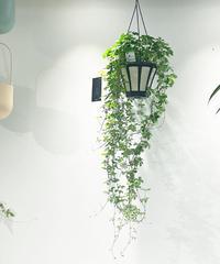 【観葉植物 】シュガーバイン 吊り鉢