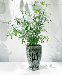 【観葉植物】シェフレラ コンパクタ  / mix color pot  GREEN