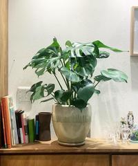 【観葉植物】モンステラ デリシオサ 釉薬鉢