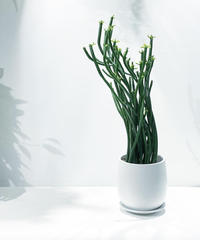 【観葉植物】ユーホルピア オンコクラータ /  mat round pot white