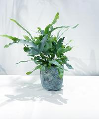 【観葉植物】プレポディウム オーレウム ブルースター / barnacle Upot blue  φ13