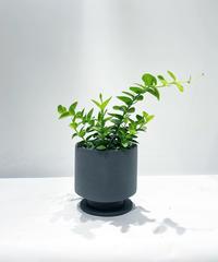 【観葉植物 】ホヤ クミンギアナ /  hanase mat pot