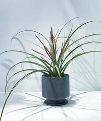 【観葉植物】チランドシア フラベラータ花芽つき /  mat pot hanase gray