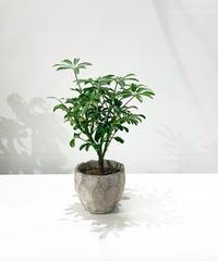 【観葉植物】シェフレラ コンパクタ / cut pot