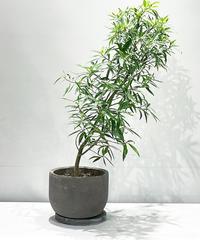 【観葉植物】フィカス・サッシリフォリア /   earth pot  LOW