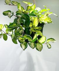 【観葉植物 】ホヤ トリカラー