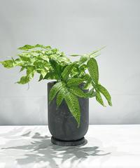 【観葉植物 】コメオグランメ・エメイエンシス /  earth pot  TALL