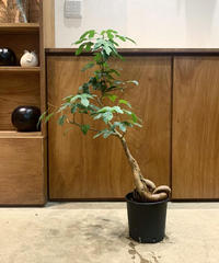 【観葉植物 】一点のみ ブラキキトン ビドウィリー 枝ぶり