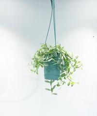 【観葉植物】ディスキディア シュガーエメラルディ