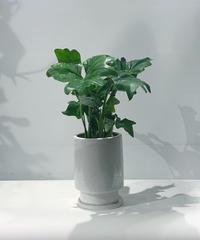 【観葉植物】フィロデンドロン セローム glaze tall pot white