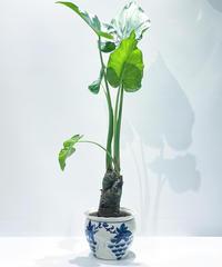 【観葉植物 】クワズイモ アロカシア ククラタ / ぶどう鉢