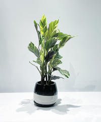 【観葉植物】カラテア ローウイぜ エンペラー / 陶器鉢 black&whtie