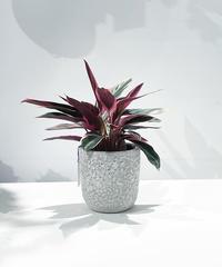 【観葉植物】小さいカラテア ストロマンテ マルチカラー   / barnacle pot