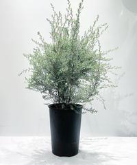 【庭・ベランダ 】レプトスペルマム ホワイトティーツリー /プラスチック鉢