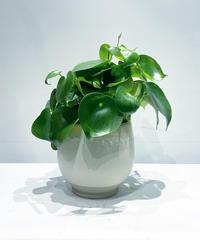 【観葉植物 】ペペロミア  ジェイド / スオマ