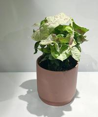 【観葉植物 】シンゴニウム  コンフィティ  /  slyimder pot mat brickpink