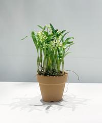 【花後 】鉢植ラン プロステケア カラマリア 'マーゴッツミニ