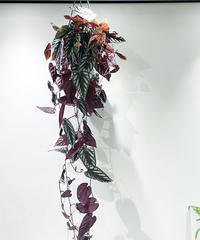 【観葉植物】シッサス ディスカラー(セイシカズラ)