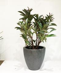 【観葉植物】Ficus elastica 'Melany' メラニー