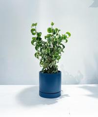 【観葉植物】ベンジャミン シタシオン バリエガータ / slynder mat pot