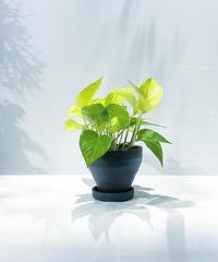 【観葉植物 】 ポトス ライム /   ジュネス濃青