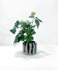 【観葉植物】グレープアイビー アフリカンゼブラポット