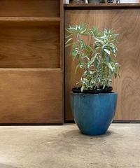 【庭・ベランダ 】ホワイトセージ / glazed pot blue