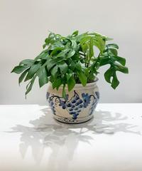 【観葉植物】ヒメモンステラ