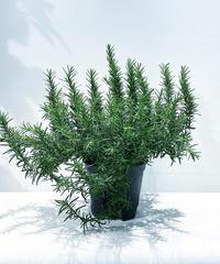 【庭・ベランダ植物 】しっかりした仕立てのローズマリー