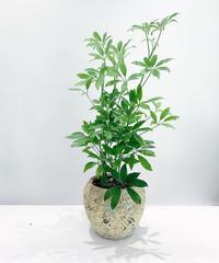 【観葉植物】シェフレラ コンパクタ