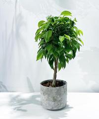 【観葉植物】フィカス ベンジャミンスタンダード仕立て  /  ancient sylinder pot
